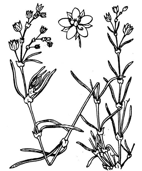 Spergularia heldreichii E.Simon & P.Monnier