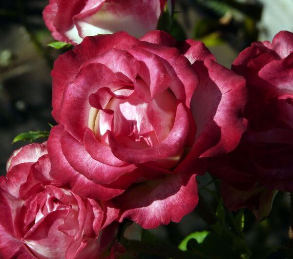 Rosa 'Chivalry ®'