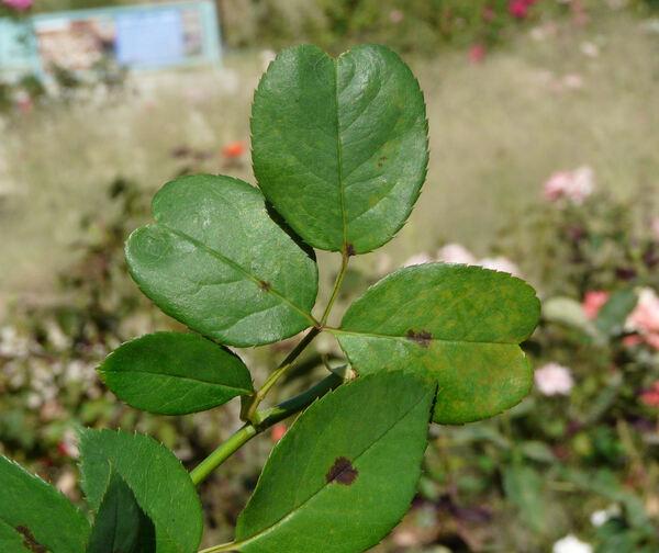Rosa 'Kleopatra ®'