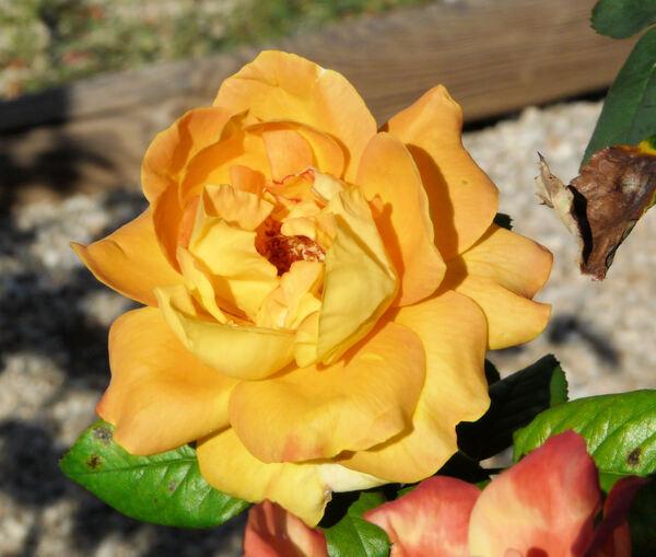 Rosa 'Benson & Hedges Gold ®'
