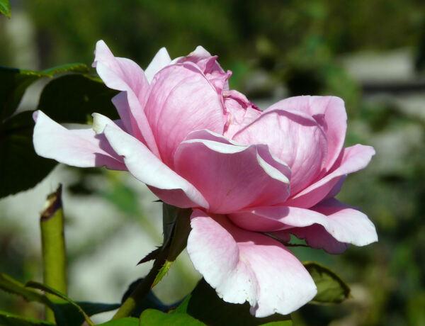 Rosa 'Jacaranda ®'