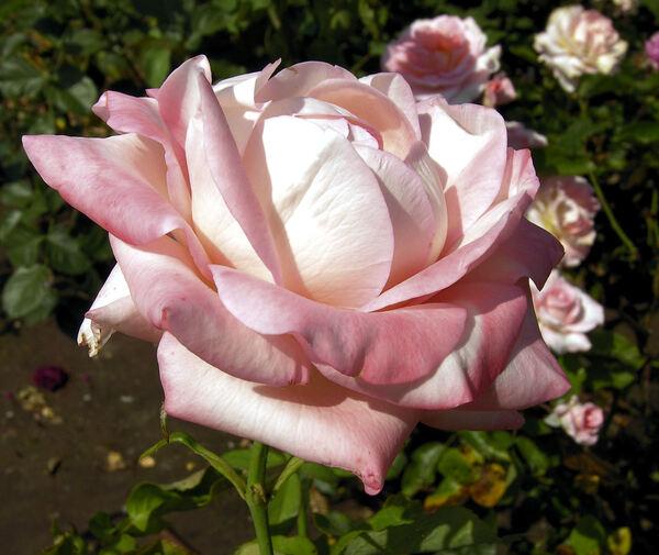 Rosa 'Belami'