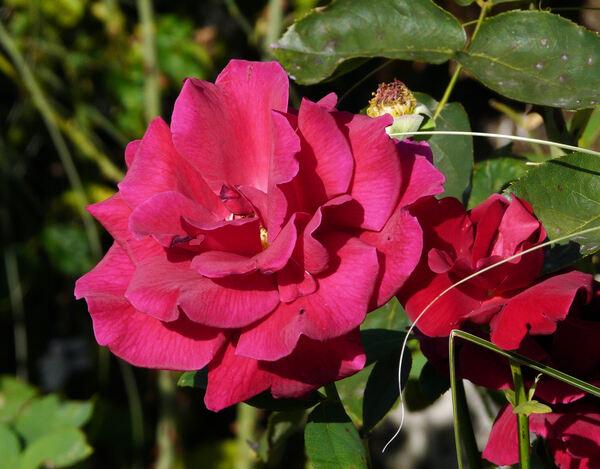 Rosa 'Mister Lincoln ®'