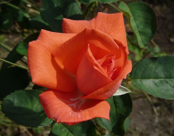 Rosa 'Duftwolke ®'