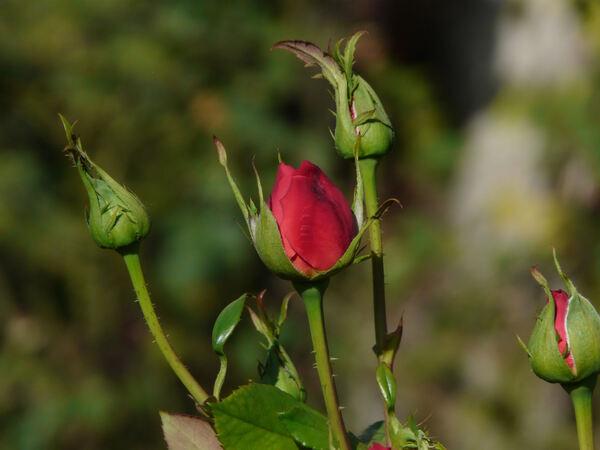 Rosa 'Rose de France'