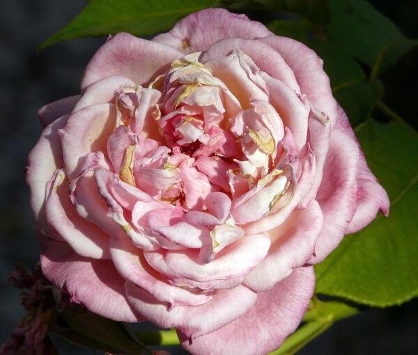 Rosa 'Marie van Houtte'