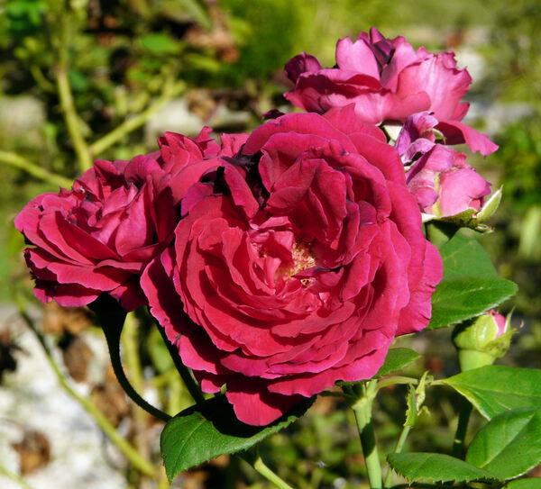 Rosa 'Général Jacqueminot'