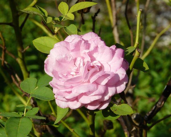 Rosa 'Mrs. John Laing'