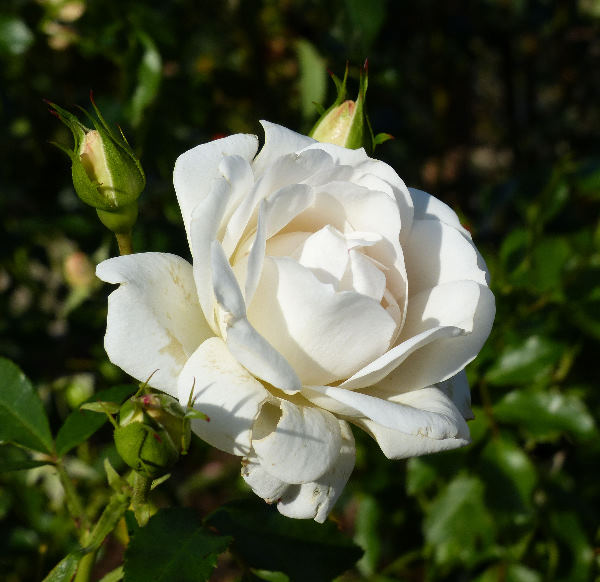 Rosa 'Carte Blanche ®'
