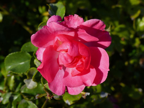 Rosa 'Pink Emely ®'