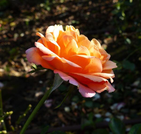 Rosa 'Amazing Palace ®'