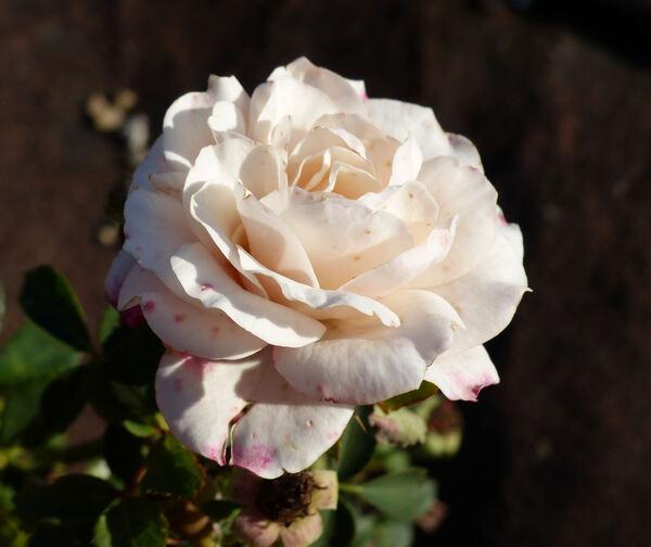 Rosa 'FAI'