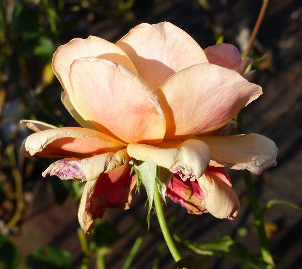Rosa 'Belle Époque'