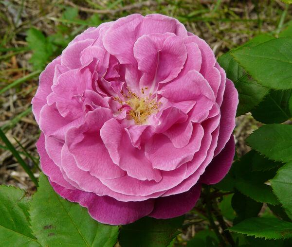 Rosa 'Vivid'