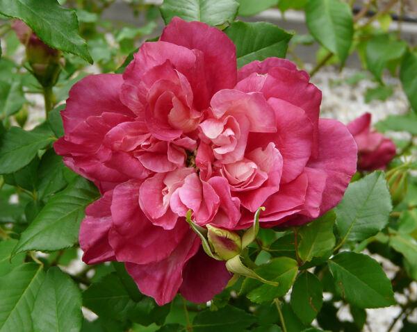 Rosa 'Madame Azélie Imbert'