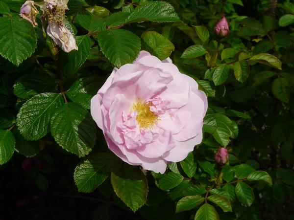 Rosa 'Sarah Van Fleet'