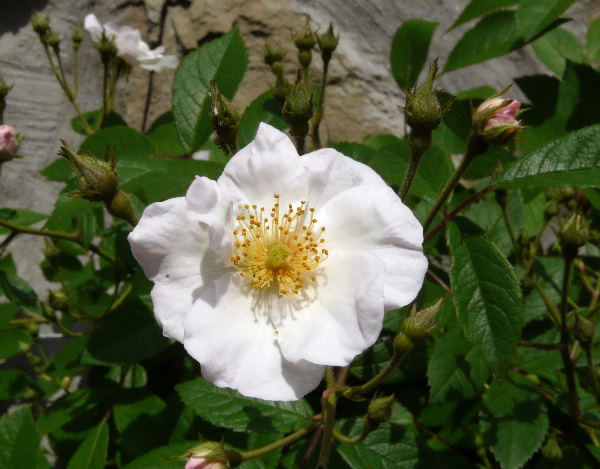 Rosa 'White Magic'