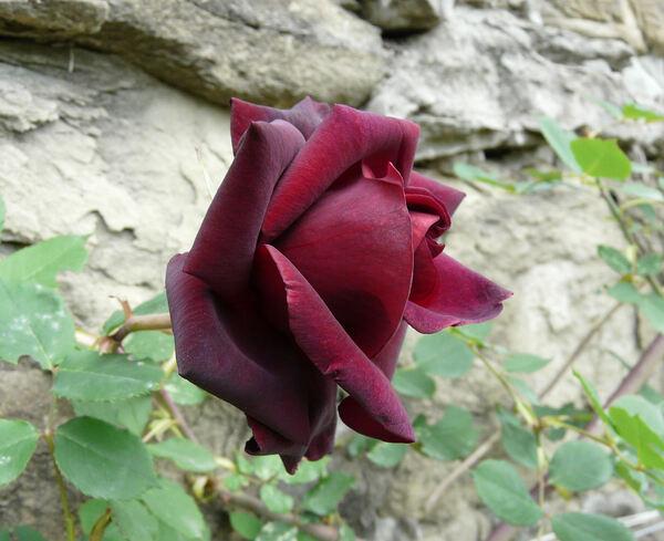 Rosa 'Guinée'