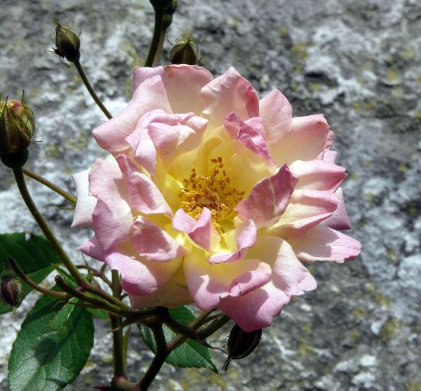 Rosa 'Phyllis Bide'