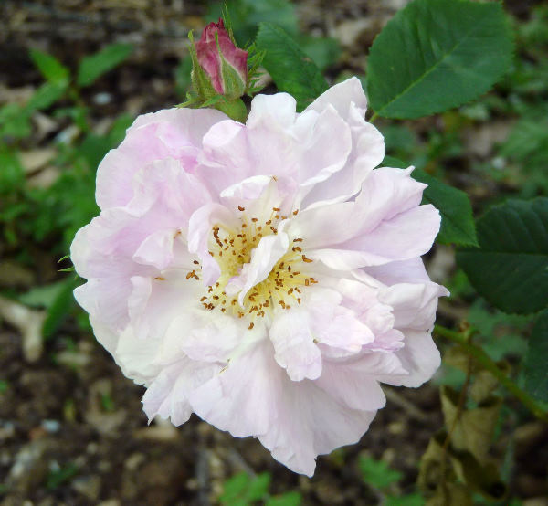 Rosa 'Celsiana'