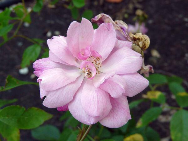 Rosa 'Unermüdliche'