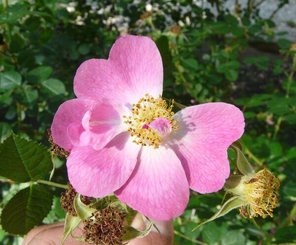 Rosa 'Meg Merrilies'