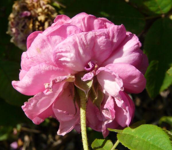 Rosa 'Agathe Rose'