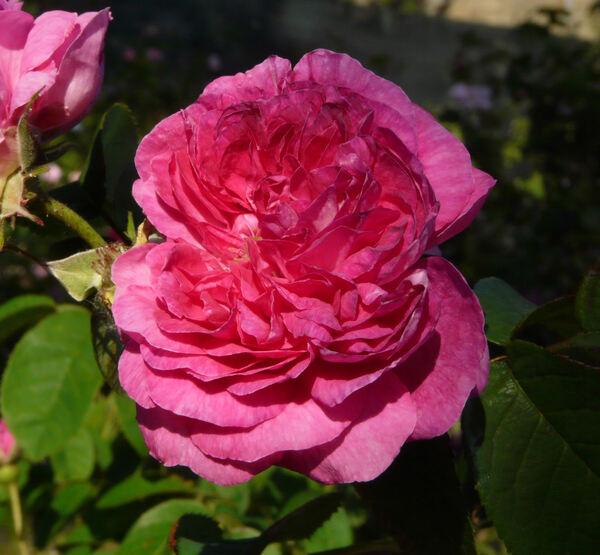 Rosa 'Duc de Guiche'