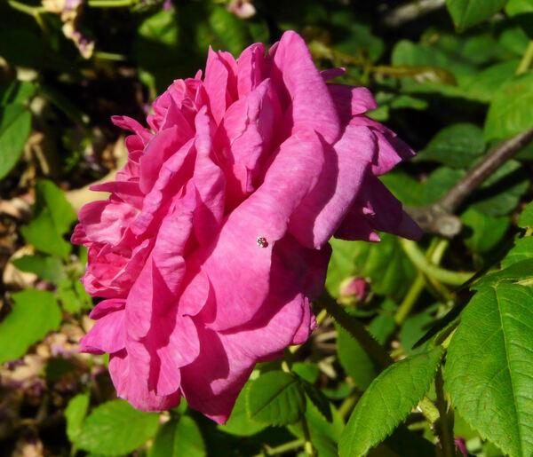 Rosa 'Belle Biblis'