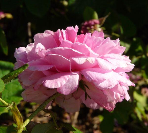Rosa 'Henri Foucquier'