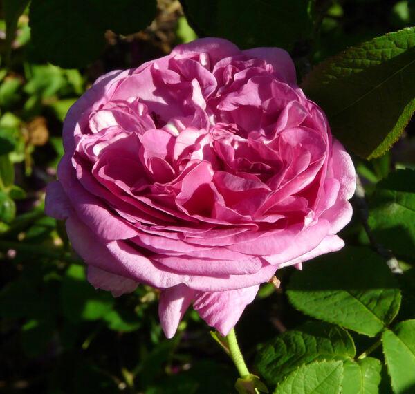 Rosa 'Rose du Maître d'École'