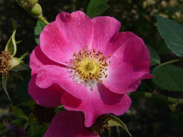 Rosa 'Amy Robsart'