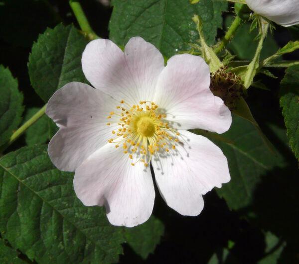 Rosa 'Victor Emmanuel'