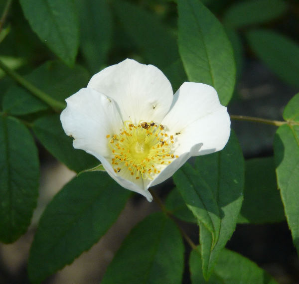 Rosa 'La Mortola'