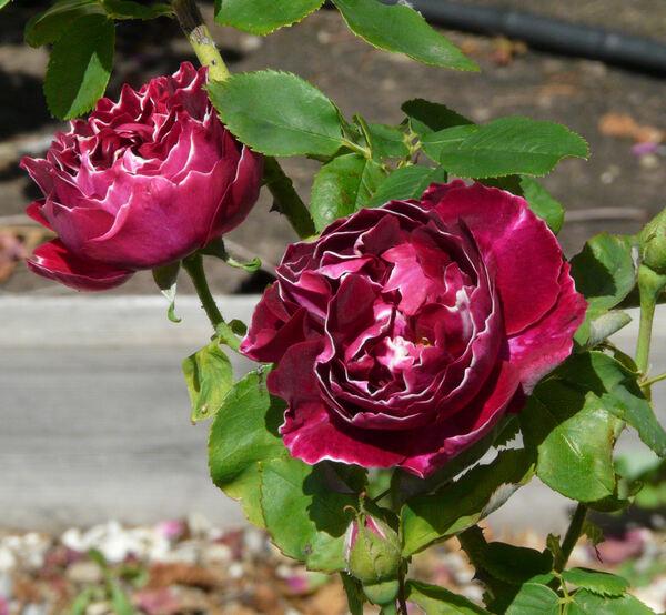 Rosa 'Baron Girod de l'Ain'