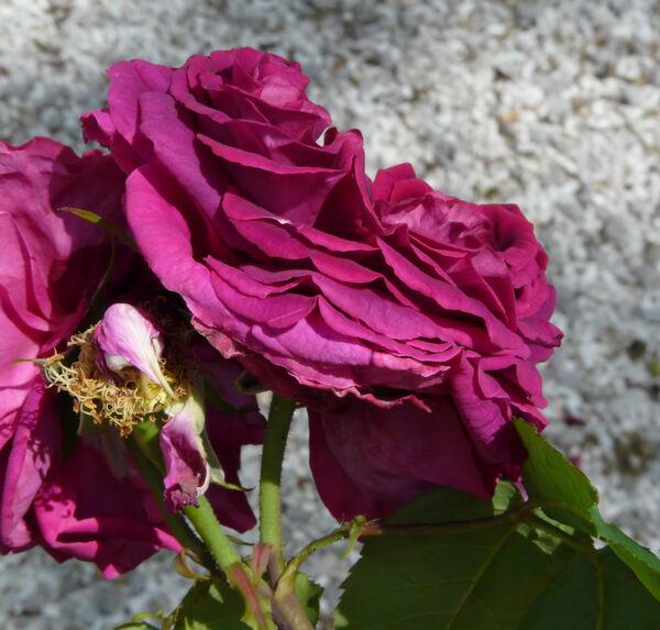 Rosa 'Gloire de Ducher'