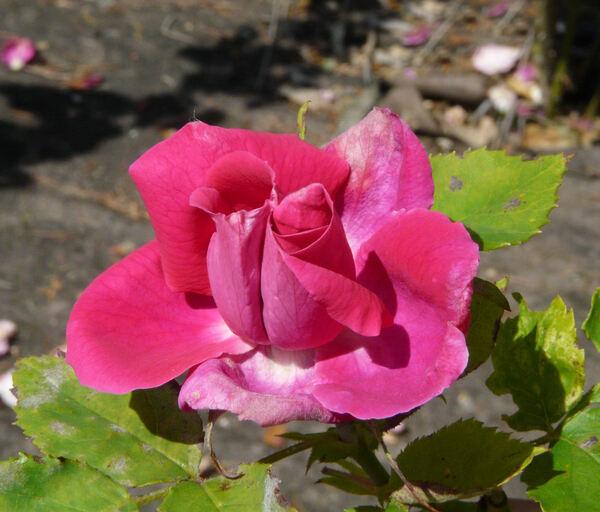 Rosa 'Georges Rousset'