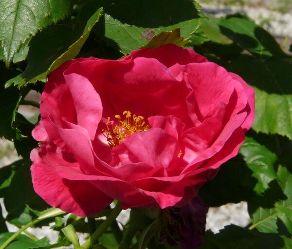 Rosa 'Souvenir de Jeanne Balandreau'