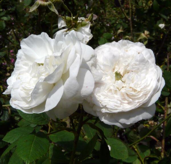 Rosa 'Botzaris'