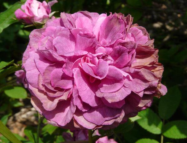 Rosa 'Raphaël'