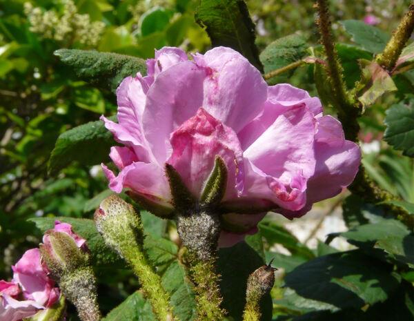 Rosa 'Mousseux du Japon'