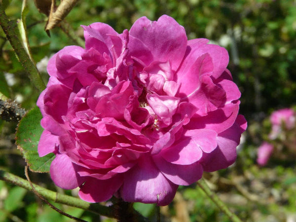 Rosa 'Eugénie Guinoisseau'