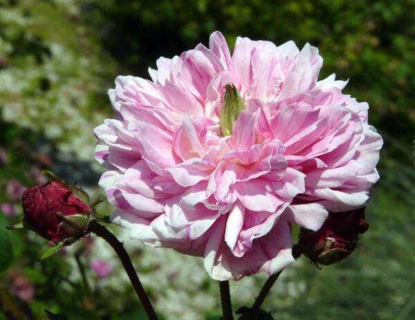 Rosa 'Belle des Jardins Gallica'