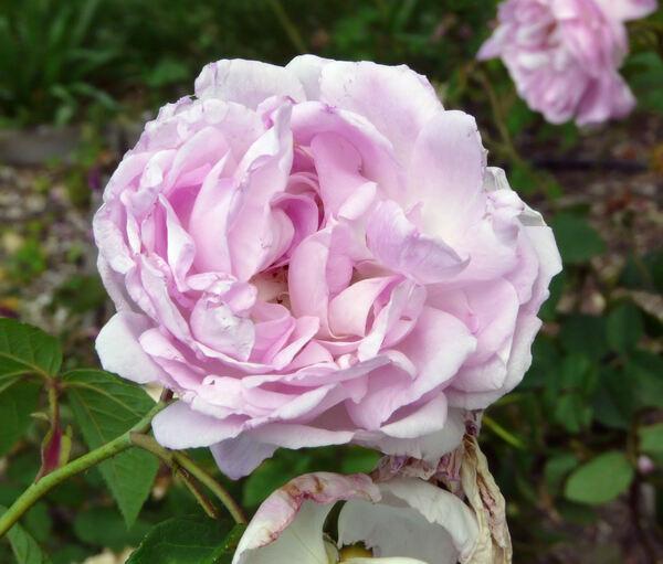 Rosa 'Duchesse d'Angoulême'