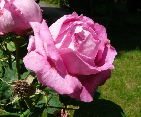 Rosa 'Madame Louise Piron'