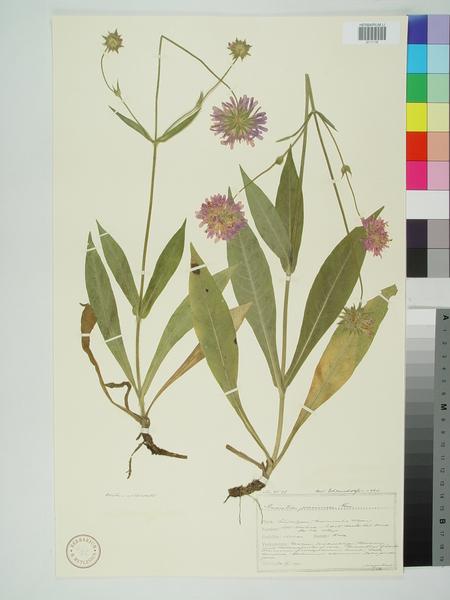 Knautia persicina A.Kern.