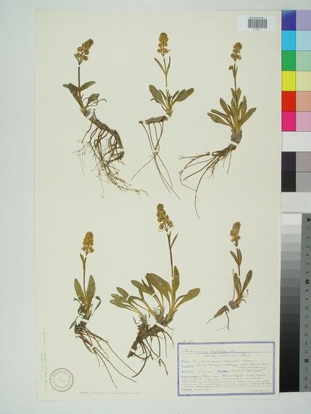 Valeriana celtica L. subsp. norica Vierh.