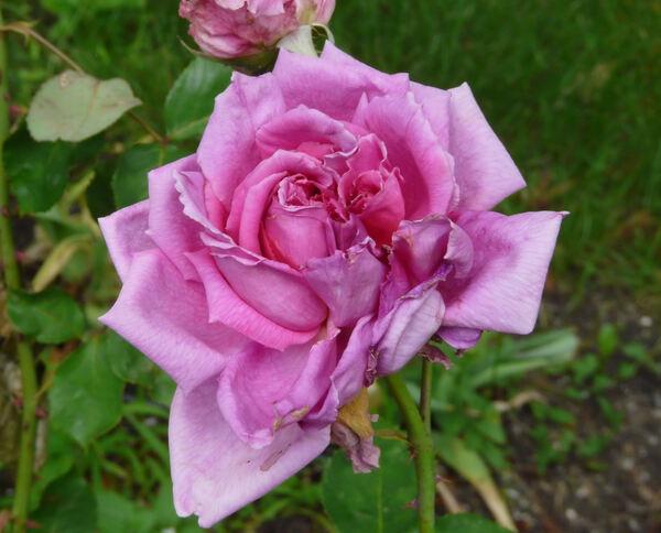 Rosa 'Madame Pierre Euler'