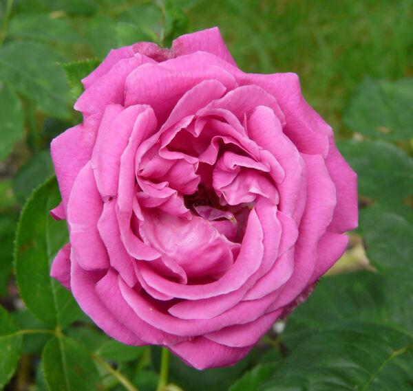Rosa 'Tom Wood'