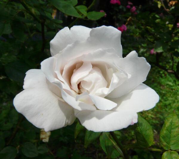 Rosa 'Marguerite Guillard'